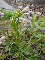 Arabis blepharophylla 2017-04-17 7762.jpg