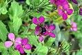 Arabis blepharophylla Spring Charm 7zz.jpg
