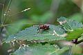 Araignées, insectes et fleurs de la forêt de Moulière (Les Agobis) (28913249152).jpg