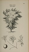 Arboretum et fruticetum britannicum, or - The trees and shrubs of Britain, native and foreign, hardy and half-hardy, pictorially and botanically delineated, and scientifically and popularly described (14597320849).jpg