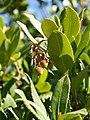 Arbutus unedo (fruit).jpg