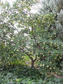http://upload.wikimedia.org/wikipedia/commons/thumb/a/af/Arbutus_unedo_-_tree.jpg/250px-Arbutus_unedo_-_tree.jpg