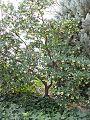 Arbutus unedo - tree.jpg