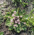 Arctopus echinatus male(2).jpg