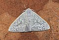 Arctornis cf phrika (Lymantriidae- Arctorninae) (5695949316).jpg