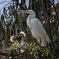 Ardea alba -chicks and nest -Morro Bay Heron Rookery -8d.jpg