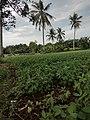 Areal Kebun Kacang Tanah Milik Warga Setempat .jpg