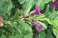 Argyreia cuneata - Purple Morning Glory - at Beechanahalli 2014 (10).jpg