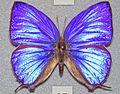 Arhopala hercules (oakblue butterfly) (16636386154).jpg