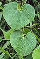 Aristolochia ringens 01.JPG