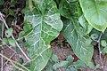 Arum italicum 105976516.jpg