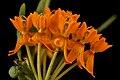 Asclepias tuberosa, butterfly-weed or Pleurisy root, Howard County, MD, Helen Lowe Metzman 2017-06-20-13.40 (35922764931).jpg