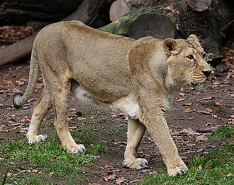 Asiatic lion - Female