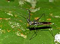 Assassin Bug (Reduviidae) (15315406737).jpg