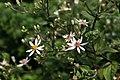 Aster divaricatus 2zz.jpg