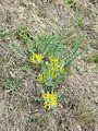 Astragalus exscapus sl10.jpg