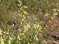 Astragalus filipes (3849358000).jpg