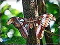 Atlas Moth - Flickr - pinemikey.jpg