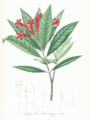 Augusta oblongifolia Pohl103.png