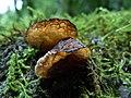 Auricularia delicata group 843734.jpg