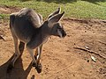 Australia Queensland kenguru - panoramio.jpg