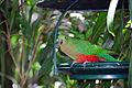 Australian King Parrot (Alisterus scapularis)-6.jpg