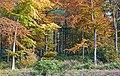Autumn Beech trees in Hen Wood, nr West Meon - geograph.org.uk - 604355.jpg
