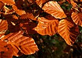 Autumn beech leaves, Hembury Woods - geograph.org.uk - 1055975.jpg