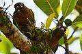 Aves Ilhabela Robert L Dona.jpg
