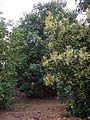 Avocado orchard 01.JPG