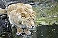 Aziatische leeuw (13171493344).jpg