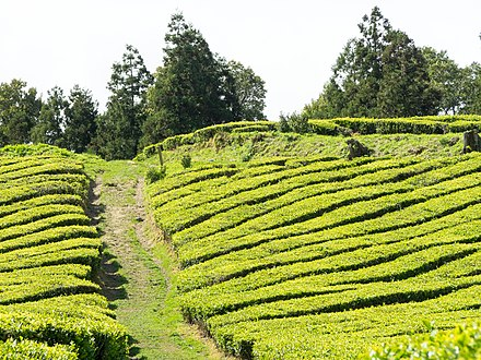 The tea fields in the foothills of Gorreana, Azores Islands, Portugal, the only European region other than Georgia to support green tea production. Azores-Day3-4 (34609679025).jpg