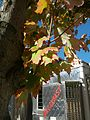 B31 Acer rubrum (Red Maple) Close-up.jpg