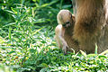Baby Gibbon Curious about Grass (20966874305).jpg