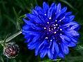 Bachelor's button, Basket flower, Boutonniere flower, Cornflower - 1.jpg