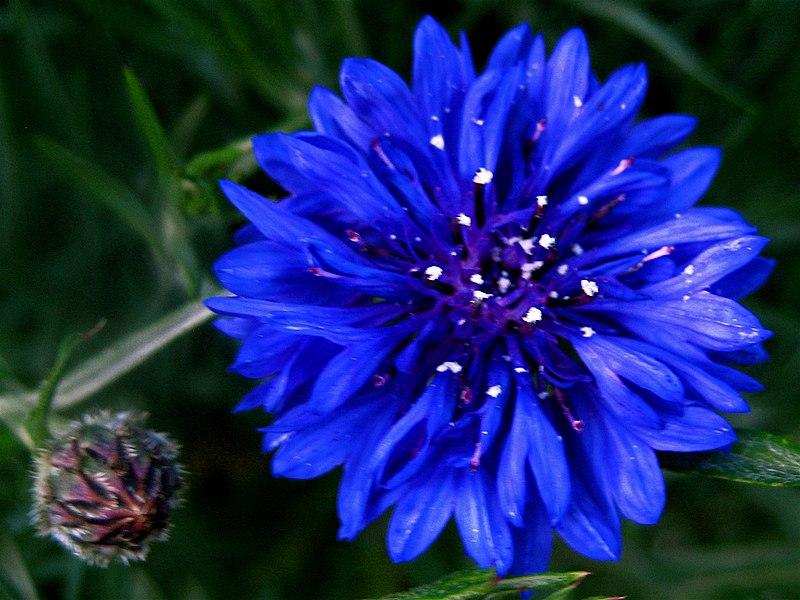 زهرة الحقول الحميلة 800px-Bachelor%27s_button%2C_Basket_flower%2C_Boutonniere_flower%2C_Cornflower_-_1