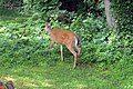 Backyard deer (18282536875).jpg