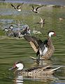 Bahama Pintail From The Crossley ID Guide Eastern Birds.jpg