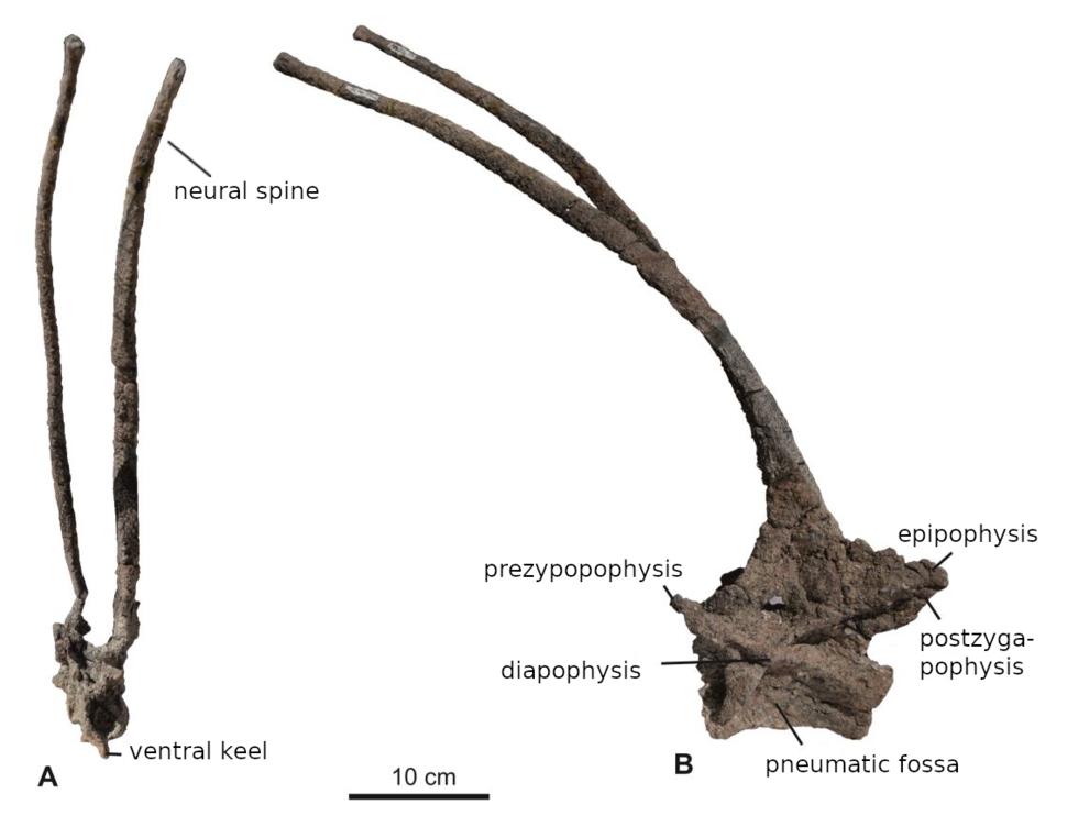 Bajadasaurus fifth cervical vertebra annotated