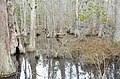 Bald Cypress Trail First Landing State Park-water (32393617223).jpg