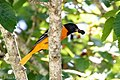 Baltimore Oriole (male) Boy Scout Woods High Island TX 2018-04-11 12-01-44-2 (26932391957).jpg