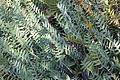 Banksia blechnifolia - Leaning Pine Arboretum - DSC05469.JPG