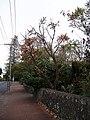 Banksia grandis Willd. (AM AK222184-3).jpg