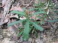 Banksia marginata seedling WSF.jpg