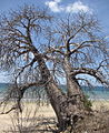 Baobab on Pemba Bay (8153284540).jpg