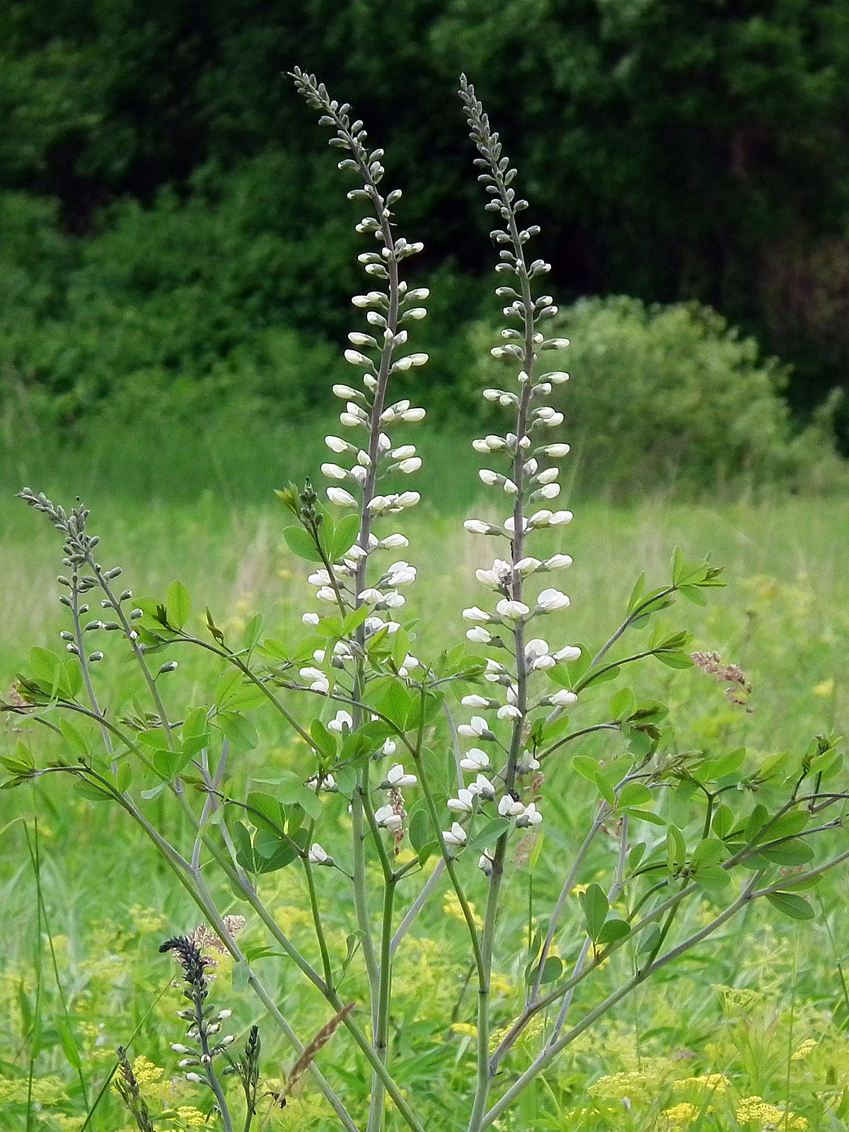 alba baptisia indigo wild native plants flowering wikipedia mid var southern thick plant atlantic macrophylla perennial flower pod shrub lactea