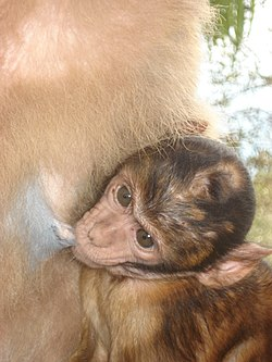 Barbary Macaque baby.jpg