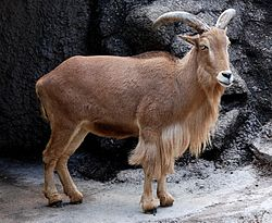 Barbary Sheep Tennoji (cropped).jpg
