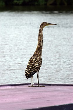 Bare-throated Tiger Heron1.jpg