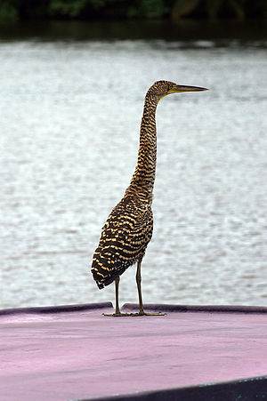 Bare-throated tiger heron - Image: Bare throated Tiger Heron 1